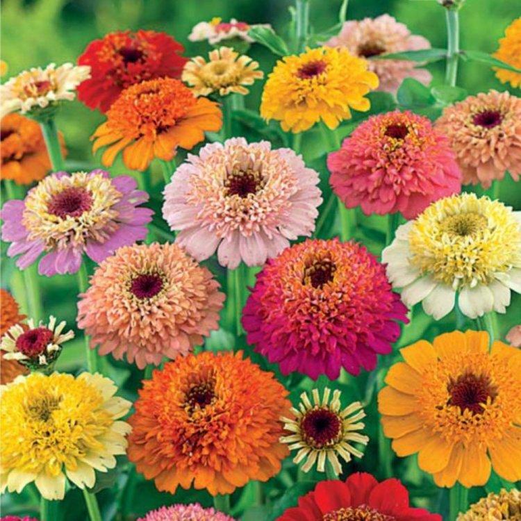 Циния в саду и как домашнее растение